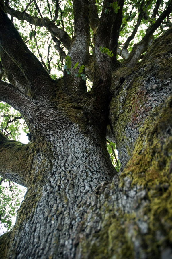 Up the Oak Tree