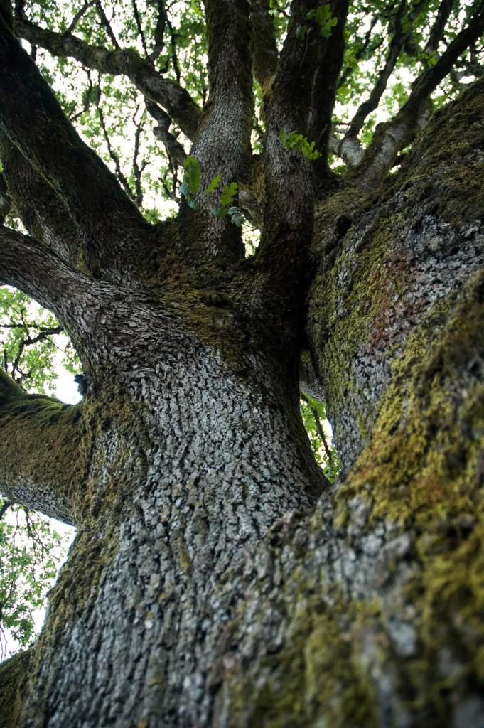 Up the Oak Tree