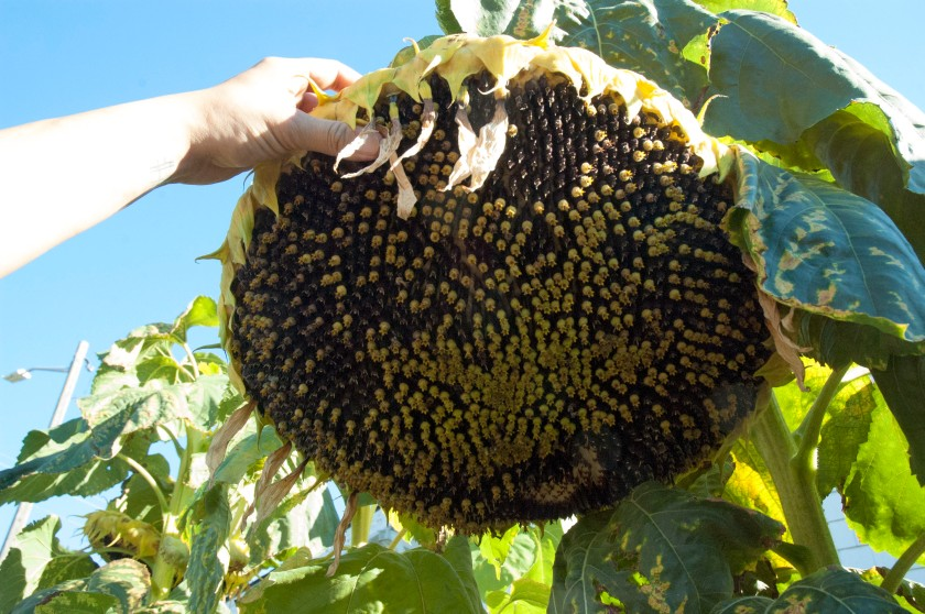 Cyclopean Sunflowers