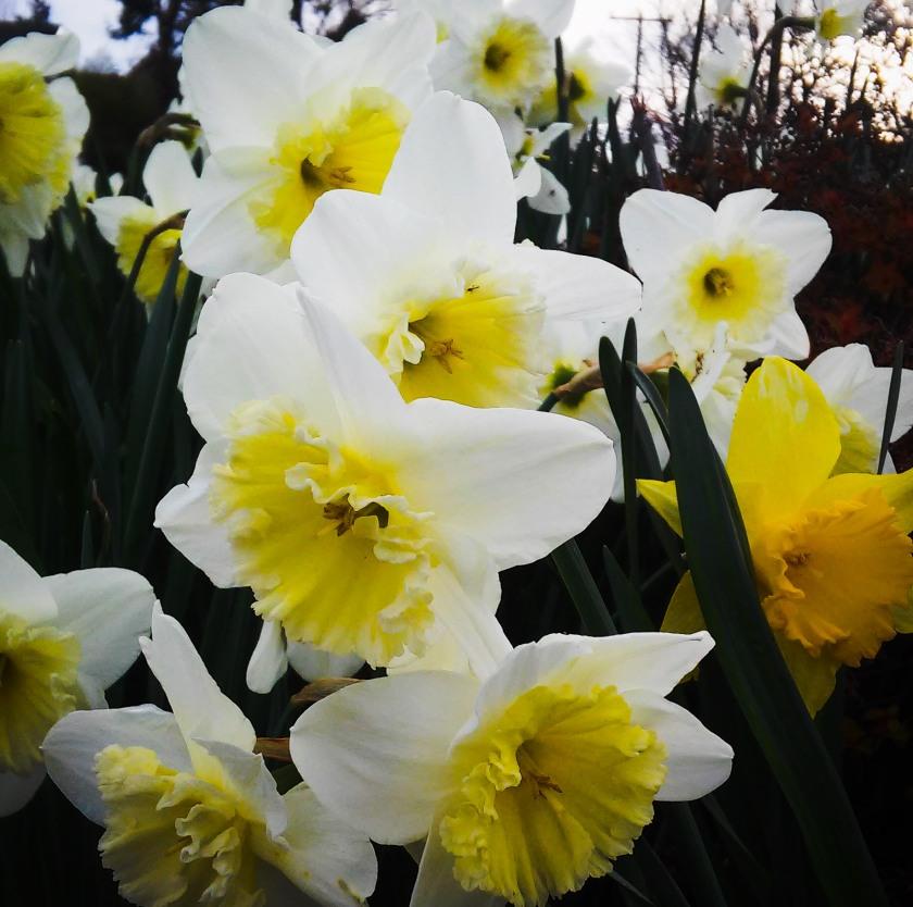 Daffy Daffodils