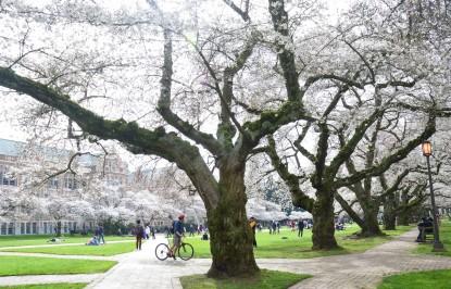 CherryBlossoms_1