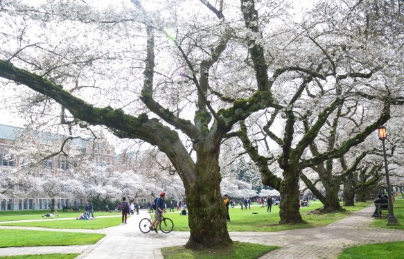 CherryBlossoms_1