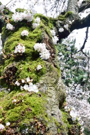 CherryBlossoms_6